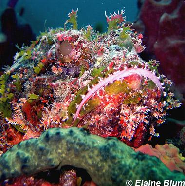 Spotted scorpionfish. Photo © Elaine Blum
