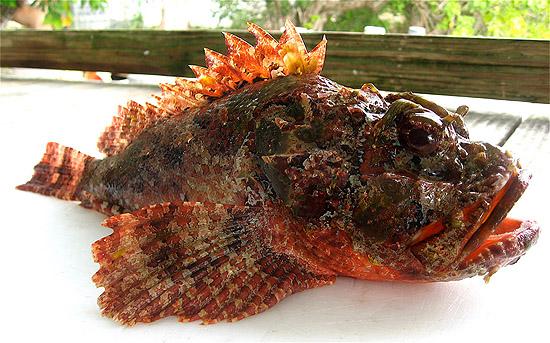Spotted scorpionfish. Photo © John Soward