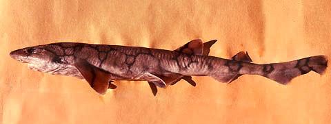 Chain dogfish. Photo © George Burgess