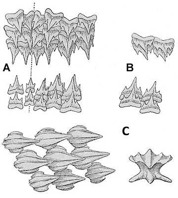 Chain dogfish dentition, (A) Uper and lower teeth from center of mouth, (B) Upper and lower teeth from sides of jaws near corners of the mouth. Chain dogfish denticles (C), including apical view. Illustration courtesy Bigelow and Schroeder (1948) FNWA