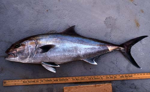 Greater amberjacks grow to approximately 6.2 feet (1.9 m) total length. Photo © George Burgess