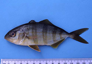 Greater amberjack juvenile. Photo © George Burgess
