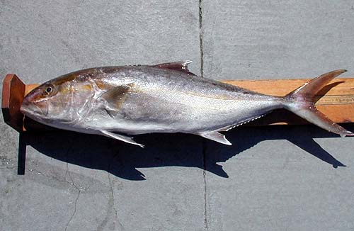 The greater amberjack is a popular catch with recreational fishers. Photo courtesy NOAA