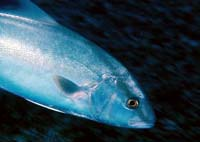Greater amberjacks have been implicated in some cases of ciguatera poisoning. Photo courtesy Bryan Harry/National Park Service