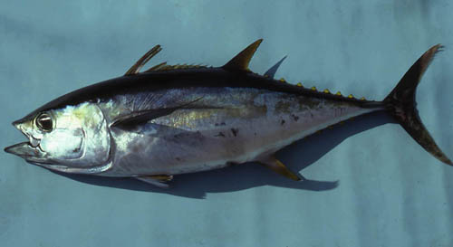 Yellowfin tuna are among the many predators of the greater amberjack. Photo © George Burgess