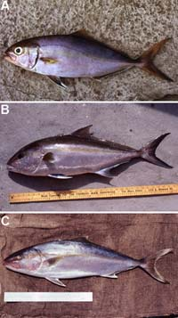 Greater amberjacks are often confused with A) S. fasciata, B) S. riviolana, and C) S. zonata. Photos © George Burgess