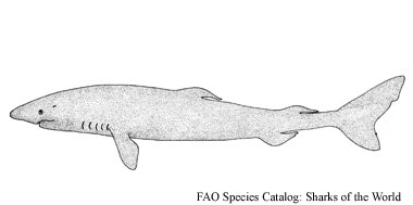 Greenland shark. Illustration courtesy FAO