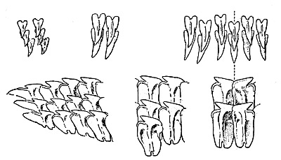Greenland shark dentition: upper and lower teeth from right-hand side, at center of mouth, from midway along the jaws and from the corner of the mouth of a specmen about 11 feet in length. Image courtesy Fishes of the Western North Atlantic (1948)