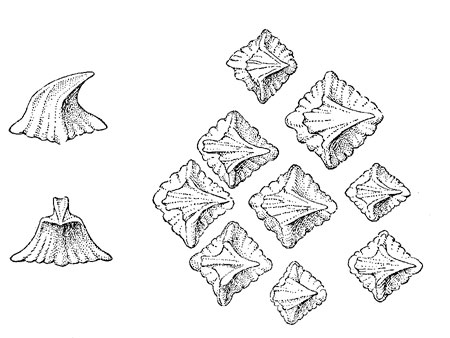 Greenland shark denticles. Illustration courtesy Fishes of the Western North Atlantic (1948)