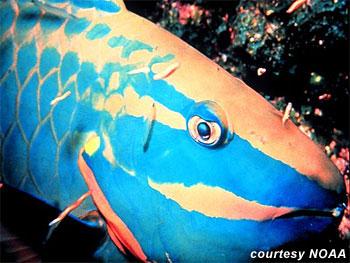 Stoplight Parrotfish. Photo courtesy NOAA