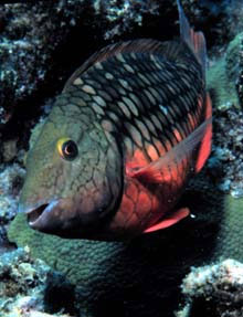Stoplight parrotfish in the initial phase. Photo courtesy Florida Keys National Marine Sanctuary