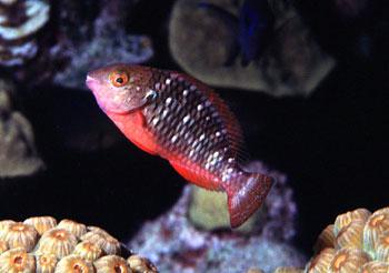 Stoplight parrotfish juvenile. Photo © George Ryschkewitsch