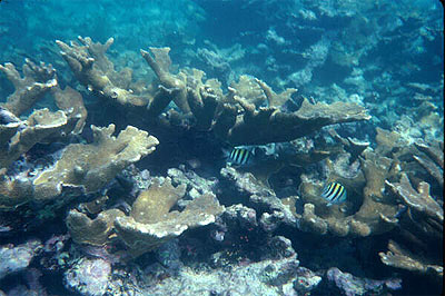 Stoplight parrotfish bite off pieces of corals. Photo courtesy National Park Service