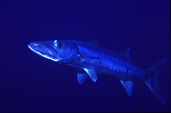 The great barracuda is easily recognized. Photo © George Ryschkewitsch