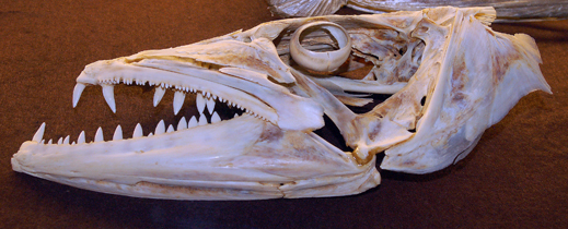 Skull of the great barracuda. Photo © Cathleen Bester