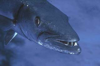 Sphyraena barracuda close-up. Photo courtesy NOAA