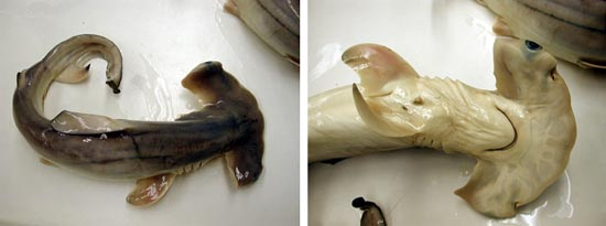Near-term scalloped hammerhead embryo, dorsal and ventral view. Photo © FLMNH