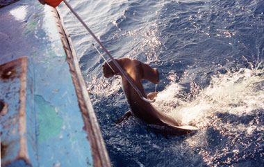 Scalloped hammerhead being landed. Photo © Commercial Shark Fishery Observer Program/FLMNH