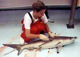 Collecting biological data on a scalloped hammerhead. Photo © Tobey Curtis/FLMNH