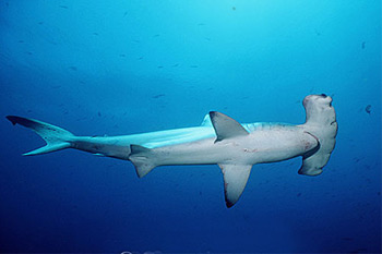 Scalloped hammerhead (Sphyrna lewini) underwater. Photo © Doug Perrine