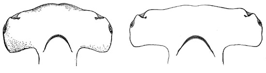 Great hammerhead differences between the A. Juvenile and B. Adult head morphology. Illustration courtesy Bigelow and Schroeder (1948) FNWA