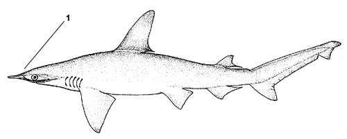 Bonnethead (Sphyrna tiburo). Illustration courtesy FAO, Species Identification and Biodata