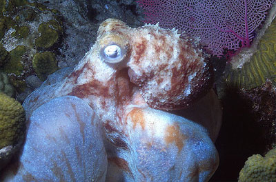 Bonnetheads feed on a variety of marine invertebrates, including octopus. Photo © George Ryschkewitsch