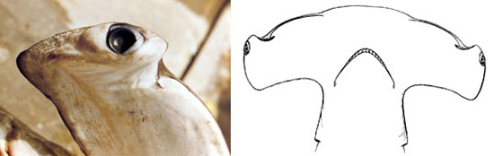 Eye location on the cephalophoil (left), view of head from below (right). Photo © George Burgess, and illustration courtesy Bigelow and Schroeder (1948)