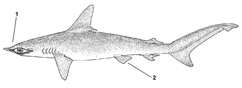 Smooth hammerhead (Sphyrna zygaena). Illustration courtesy FAO, Species Identification and Biodata