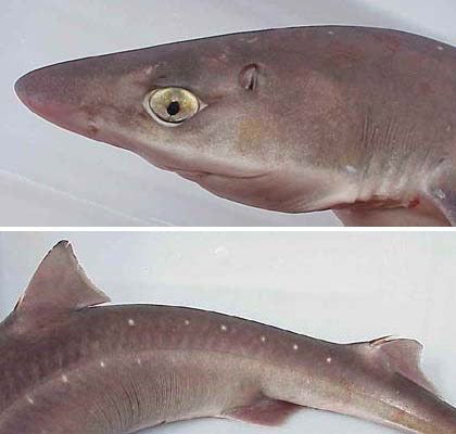 Spiny dogfish, notice the moderately large eye and somewhat flattened head (top), and dorsal fin spines on the spiny dogfish (bottom). courtesy NOAA