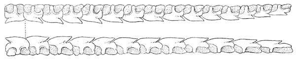 Upper and lower teeth of a spiny dogfish. Illustration courtesy Bigelow & Schroeder (1948) FWNA