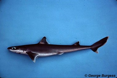 Cuban dogfish. Photo © George Burgess