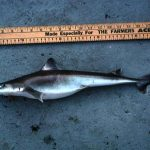 Cuban dogfish reach a maximum total length of approximately 43.3 inches. Photo © George Burgess