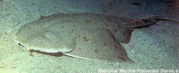 Pacific angelshark. Photo courtesy National Marine Fisheries Service