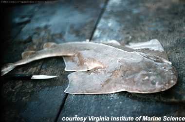 Atlantic Angelshark. Photo courtesy Virginia Institute of Marine Science