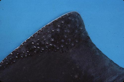 Atlantic angel shark - denticles. Photo © George Burgess