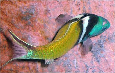 Coloration of the terminal phase bluehead. Photo courtesy Environmental Protection Agency