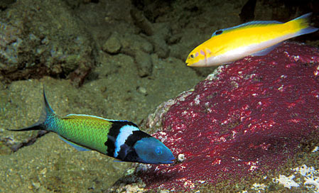 Supermale (below) and initial phase (above) blueheads feeding on sergeant major eggs. Photo © Doug Perrine