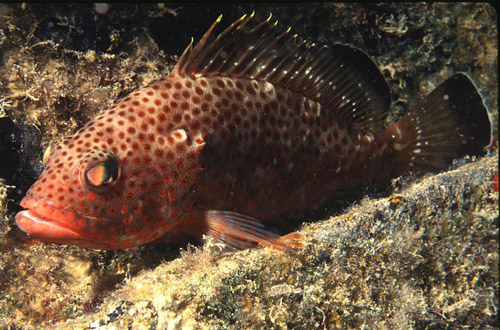 The red hind (Epinephelus gutatus) is a known predator of the bluehead. Photo © George Ryschkewitsch