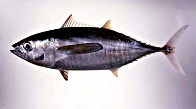 Yellowfin tuna. Photo courtesy National Park Service
