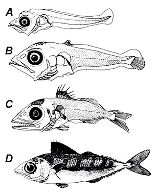Yellowfin tuna larvae: A. 5.1 mm NL, B. 6.0 mm SL, C. 8.5 mm SL, D. 46.0 mm SL. Image courtesy NOAA, Tech Memo (NMFS-SEFC-240)