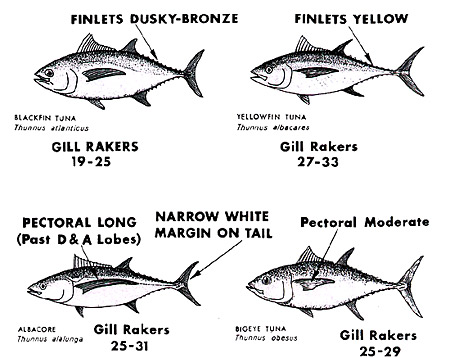 Distinguishing characteristics of tunas. Image courtesy NMFS, ABT Tech Sheet No. 4