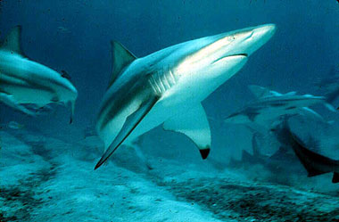 Blacktip sharks (Carcharhinus limbatus) feed on yellowfin tuna. Photo © David Snyder
