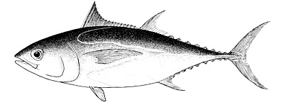 Illustration of the blackfin tuna. Image courtesy FAO Species Catalogue: Vol. 2 Scombrids of the World