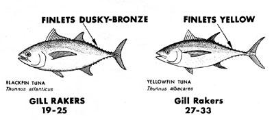 Distinguishing characteristics of blackfin tuna and yellowfin tuna. Image courtesy NMFS (ABT Tech Sheet No. 4)