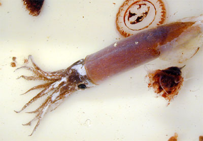Blackfin tuna feed on a variety of prey including squid as shown here. Photo courtesy NOAA