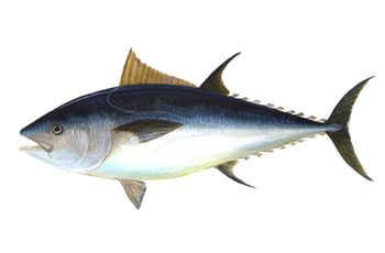 Bluefin tuna. Illustration courtesy NOAA