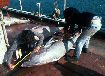 Measuring a bluefin tuna upon capture. Photo courtesy NOAA