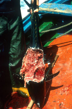 Shark attack on a captured bluefin tuna. Photo courtesy NOAA