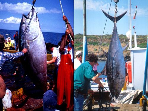 Sportfishing for bluefin tuna is a popular activity. Photo courtesy NOAA